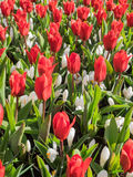Red tulips and white crocus Stock Image