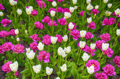 Red tulips. And white in the flower bed stock image