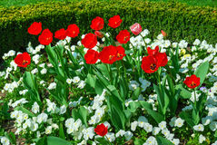 Red tulips and white pansies in bloom. Red tulips and white pansies blooming in springtime Stock Photo