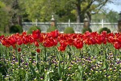 Red Tulips and Wild flowers. A bed of blooming red tulips and purple wild flowers Royalty Free Stock Photography