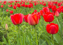 Red tulips in a wild pitch, close up Stock Images
