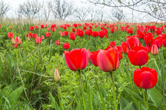 Red tulips in a wild pitch Stock Photos