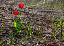 Red tulips in wildness. Two lonely red tulips growing in a desolated area of gead grass and vegetation stock photography