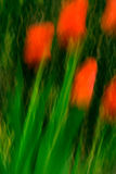 Red Tulips in the Wind Royalty Free Stock Photography
