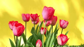 Red tulips in the wind with yellow background stock video footage
