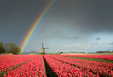 Red tulips, a windmill and a rainbow. A colorful rainbow in a dark sky over a windmill and a field full of bright red tulips during a spring storm in a landscape Stock Images