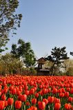 Red tulips and windmill. 