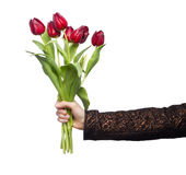 Red tulips in womans hand on white. Background stock images