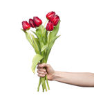 Red tulips in womans hand on white. Background Stock Photo