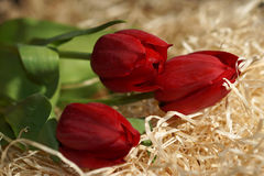 Red tulips on wood shavings. Beautiful red tulips on wood shavings Royalty Free Stock Photo