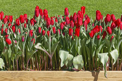 Red Tulips. In a wooden pot Stock Photo
