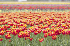 Red tulips with yellow brim in dutch field. Red tulips with yellow brim in dutch flower field with several colors stock images