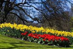 Red tulips and yellow daffodils in spring Stock Photos
