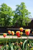 Red tulips with yellow edges, Lichfield, UK. Royalty Free Stock Images