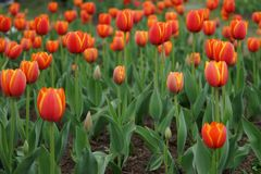 Red tulips with yellow edging Royalty Free Stock Photography