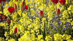 Red tulips and yellow flowers. Gentle wind stock video footage