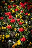 Red Tulips and yellow flowers in pattern stock photography