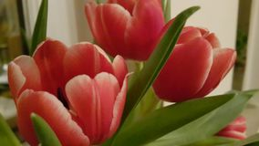 Red Tulips with a yellow hinch Royalty Free Stock Photo