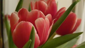 Red Tulips with a yellow hinch Royalty Free Stock Images