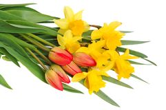 Red tulips and yellow narcissus Stock Photography