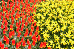 Red Tulips and yellow narcissus  in Keukenhof Stock Photos
