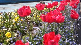 Red tulips. Yellow pansies and small blue flowers in spring stock footage