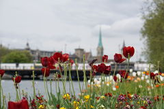 Red tulips in Zurich. Switzerland Royalty Free Stock Images