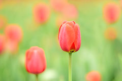 Red Tulipses Stock Image