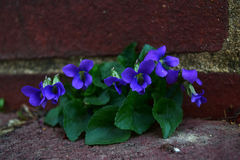 Red TulipWild purple violet grows out of the brick. Stock Image