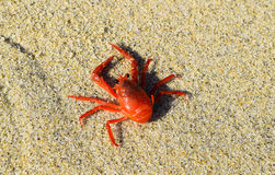 Red Tuna Crab on the Beach at La Jolla Cove in San Diego, California stock images
