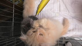 Turkish Angora cat in pet store. A red Turkish Angora cub cat with green eyes playing and miaowing in the cage in pet store stock video