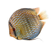 Red Turquoise Discus fish. Symphysodon aequifasciatus, in front of white background, studio shot stock image