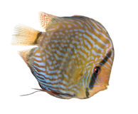 Red Turquoise Discus (fish) - Symphysodon aequifas Stock Photography
