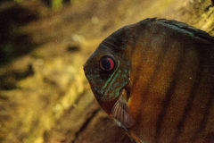 Red turquoise discus fish Symphysodon also called cichlid Stock Images