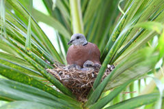 Red Turtle Dove with Chicks royalty free stock photography