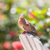 Red Turtle Dove (Streptopelia tranquebarica) Royalty Free Stock Photography