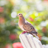 Red Turtle Dove (Streptopelia tranquebarica) Stock Images