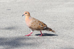 Red Turtle Dove (Streptopelia tranquebarica) Stock Image