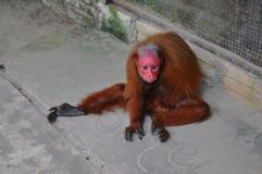 Red uakari monkey in the Amazon rainforest stock images
