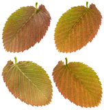 Red ulme leaf Stock Photos