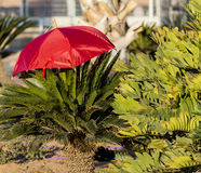 Red umbrella and decorative palm at central round square in Eilat Royalty Free Stock Photography