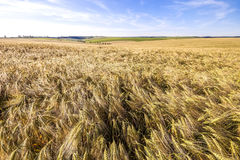 Red umbrella on wheat field. Ears of golden wheat close up. Beau Royalty Free Stock Images