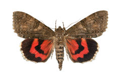 Red underwing Royalty Free Stock Photography