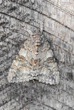 Red Underwing. Butterfly is well camouflaged against tree bark , the front wings spread , so that the colored rear wings are visible. Unrest inCaterpillar also royalty free stock photos