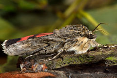 Red underwing (Catocala nupta) moth in profile. Large moth in the family Erebidae, with grey forewings and spectacular red hindwings Stock Photography