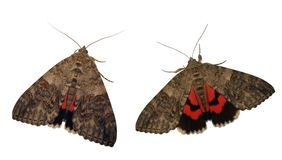Red underwing moth showing royalty free stock photography