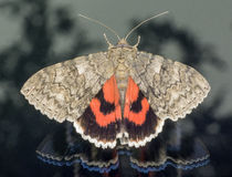 Red Underwing sitting on window and looking out Stock Images