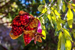 Red unfolded ripe pomegranate fruits on a tree branch close-up. One ripe unfolded pomegranate fruit on a tree branch close-up. In the background, through the Stock Image