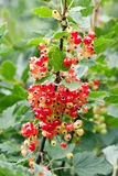 Red unripe currant on bush Royalty Free Stock Photos