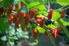 Red unripe mulberries on the branch Royalty Free Stock Photography